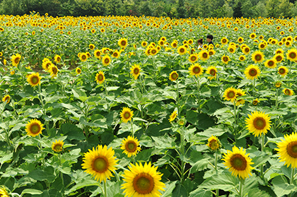 Sunflowers (late July – early August)