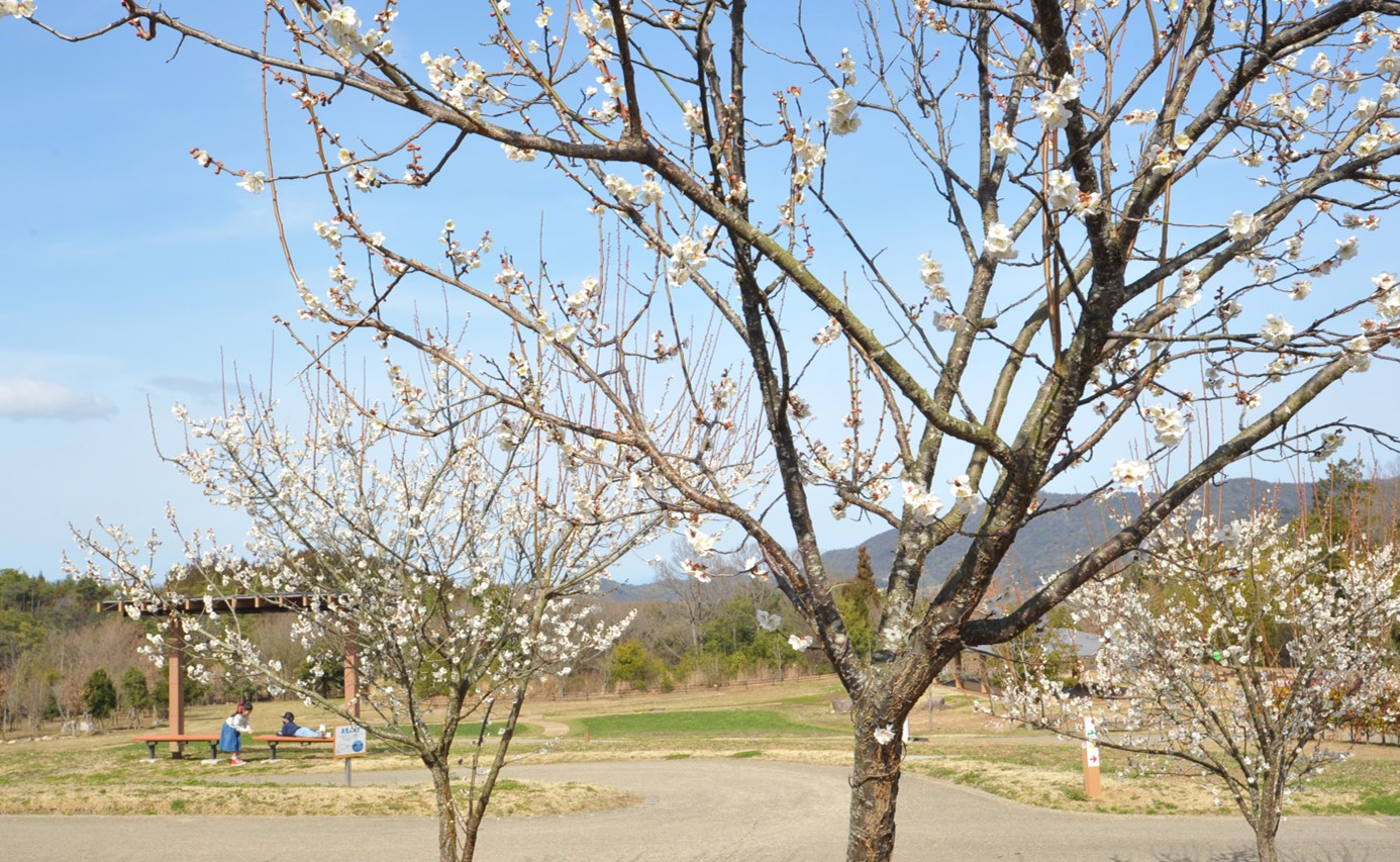 ウメ @花巡りの丘 Photo2/27