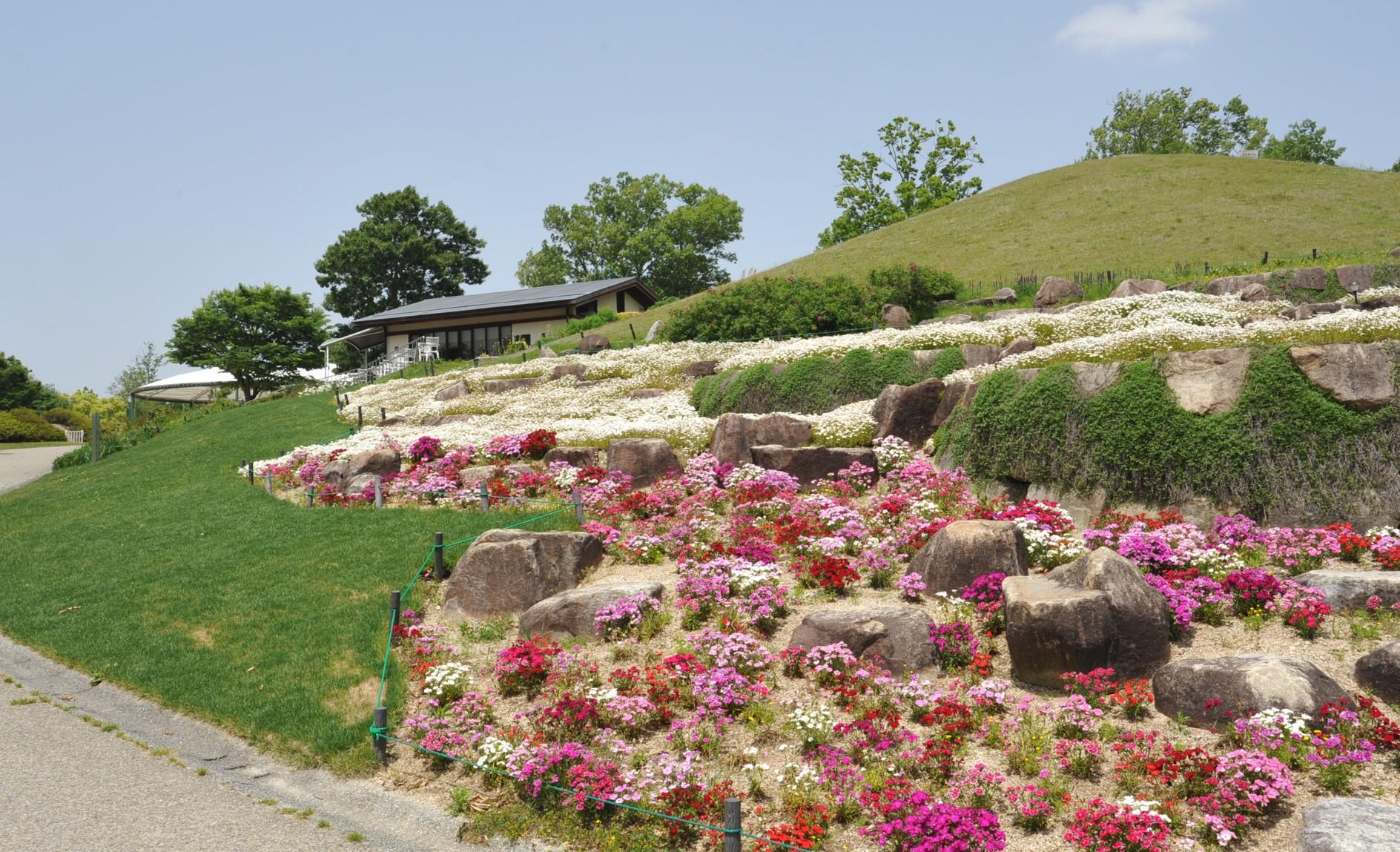 芝桜とノースポール @風花の庭  Photo5/9