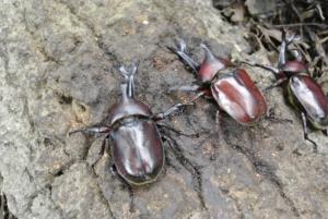 3匹のカブト虫